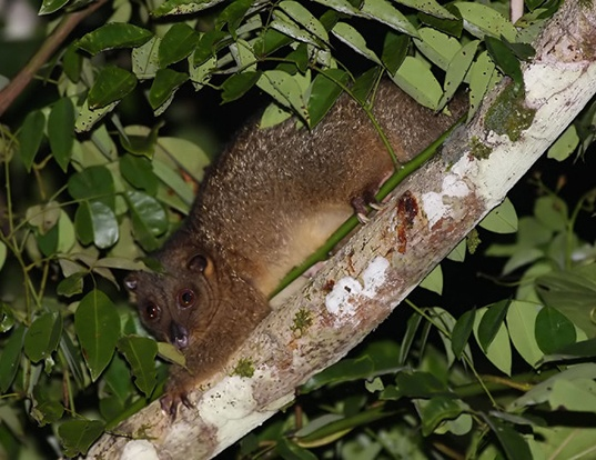 Picture of a northern common cuscus (Phalanger orientalis)