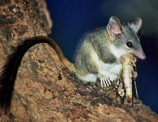 Picture of a red-tailed phascogale (Phascogale calura)