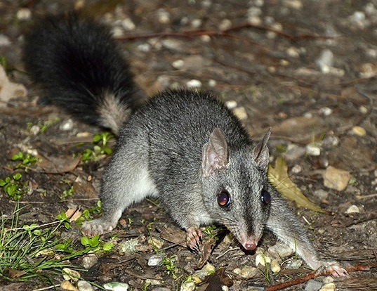 Picture of a brush-tailed phascogale (Phascogale tapoatafa)
