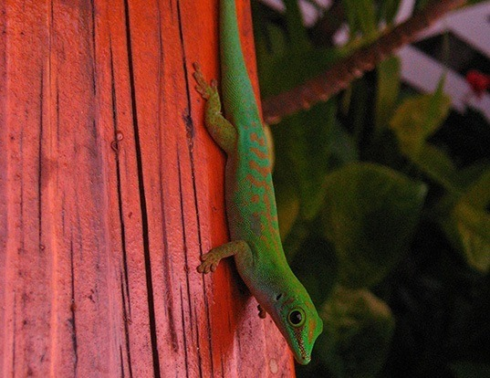 Picture of a seychelles small day gecko (Phelsuma astriata)