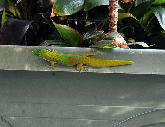 Picture of a orange-spotted day gecko (Phelsuma guimbeaui)