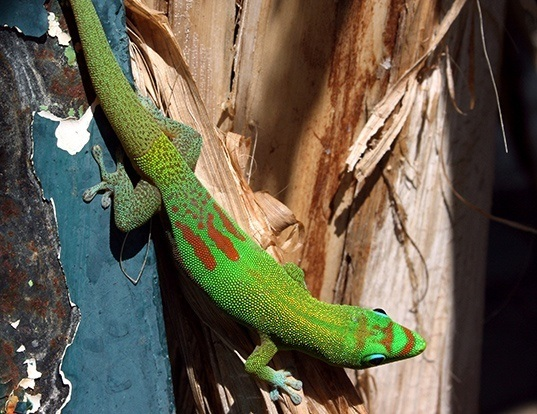 Picture of a broad-tailed day gecko (Phelsuma laticauda)