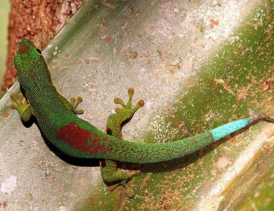 Picture of a lined day gecko (Phelsuma lineata)
