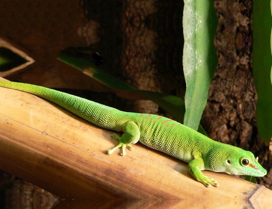 Picture of a madagascar day gecko (Phelsuma madagascariensis)