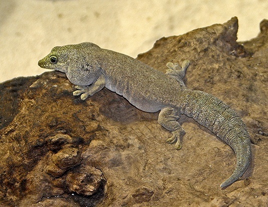 Picture of a standing's day gecko (Phelsuma standingi)