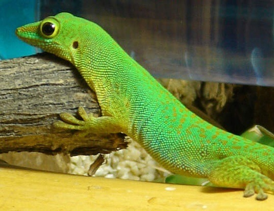 Picture of a la digue day gecko (Phelsuma sundbergi)