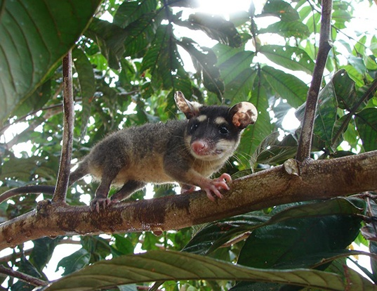 Picture of a anderson's four-eyed opossum (Philander andersoni)