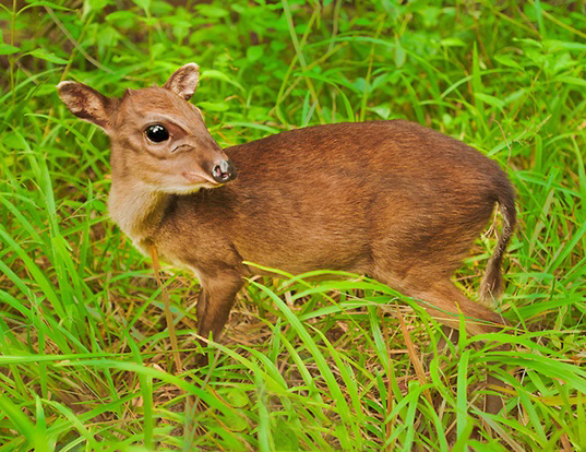 Picture of a maxwell's duiker (Philantomba maxwellii)