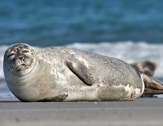 Picture of a harbour seal (Phoca vitulina)