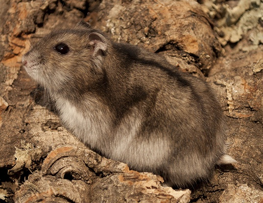 Picture of a campbell's hamster (Phodopus campbelli)