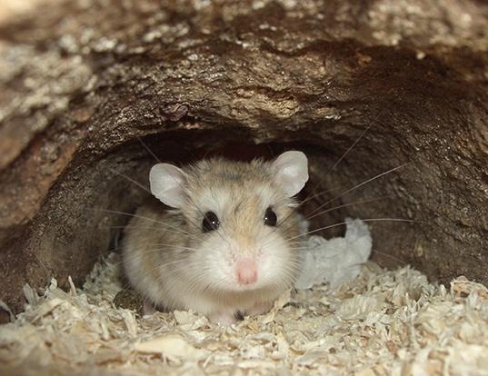 Picture of a desert hamster (Phodopus roborovskii)