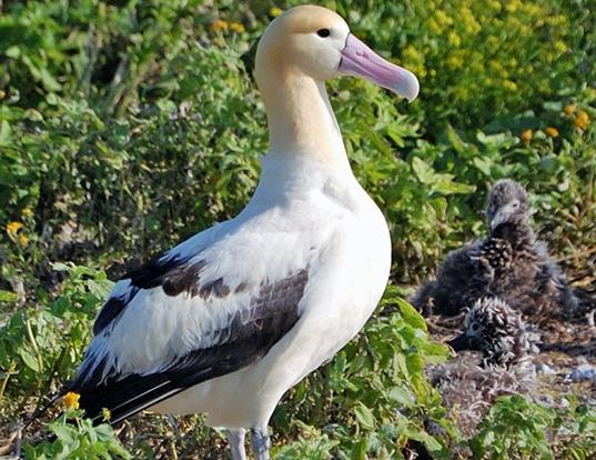 Picture of a short-tailed albatross (Phoebastria albatrus)