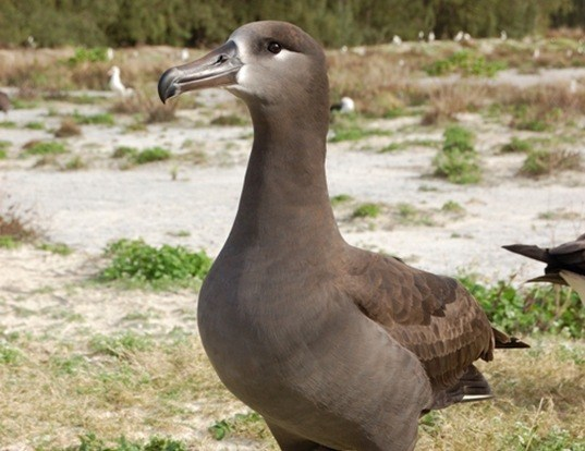 Picture of a black-footed albatross (Phoebastria nigripes)