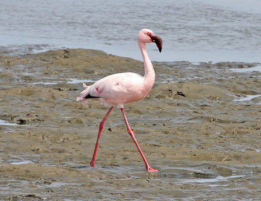 Picture of a lesser flamingo (Phoeniconaias minor)