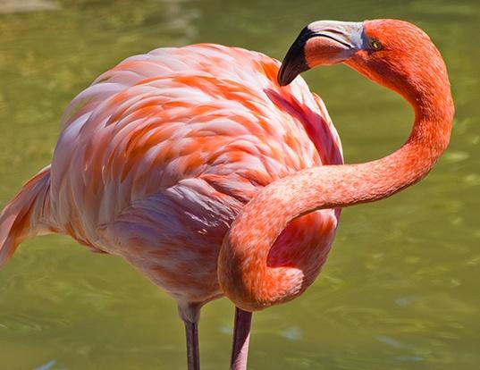 Picture of a american flamingo (Phoenicopterus ruber)