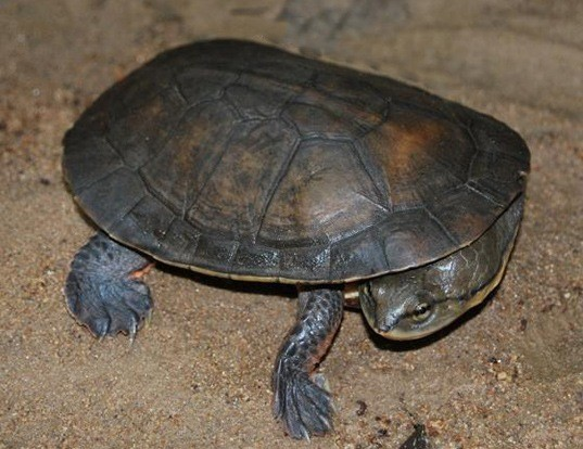Picture of a dahl's toad-headed turtle (Phrynops dahli)