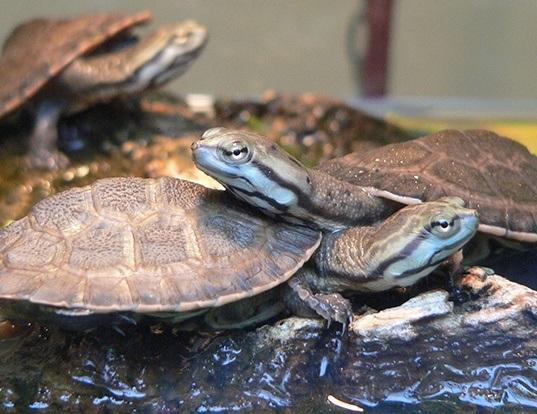 Picture of a geoffrey's sideneck turtle (Phrynops geoffroanus)