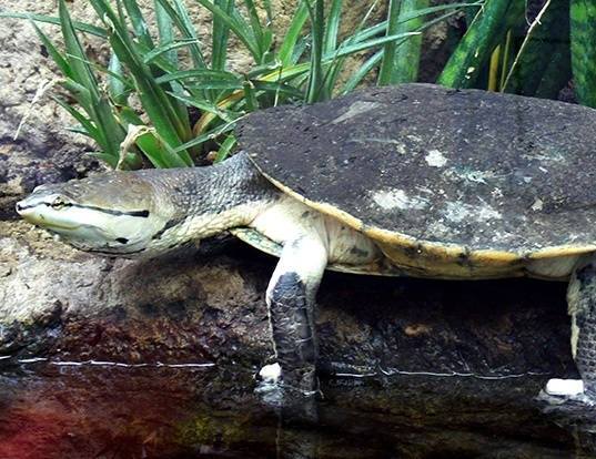 Picture of a hilaire's side-necked turtle (Phrynops hilarii)