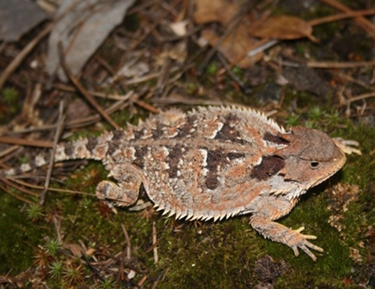 Picture of a n. american horned lizard (Phrynosoma orbiculare)