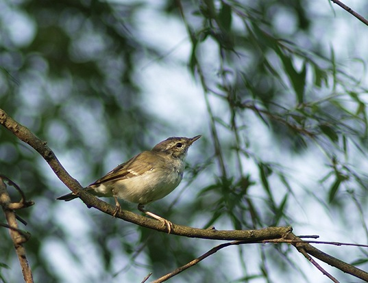 Picture of a arctic warbler (Phylloscopus borealis)
