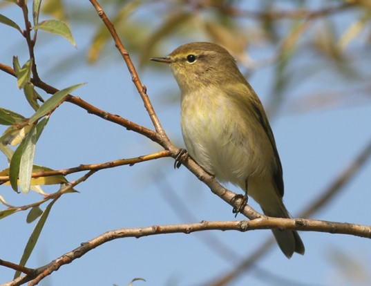 Picture of a chiffchaff (Phylloscopus collybita)