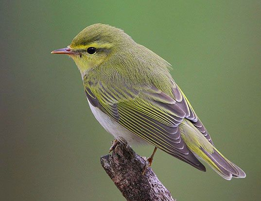 Picture of a wood warbler (Phylloscopus sibilatrix)