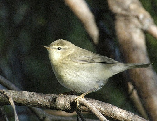 Picture of a willow warbler (Phylloscopus trochilus)