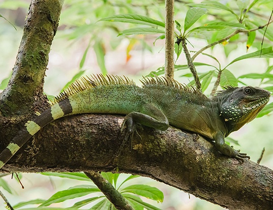 Picture of a chinese water dragon (Physignathus cocincinus)
