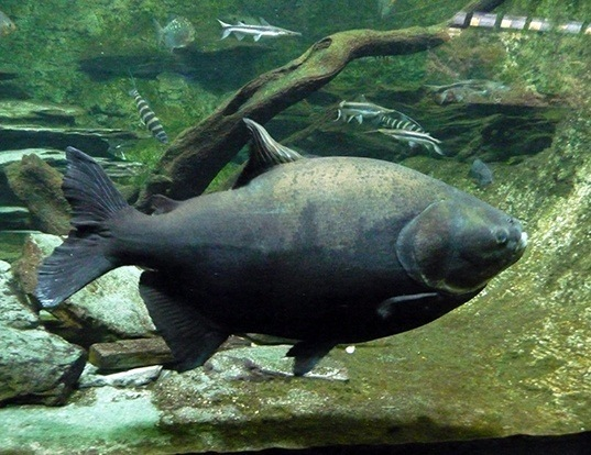 red bellied pacu life expectancy