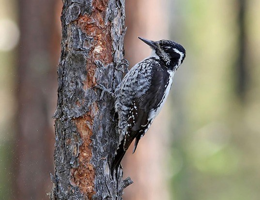 Picture of a three-toed woodpecker (Picoides tridactylus)