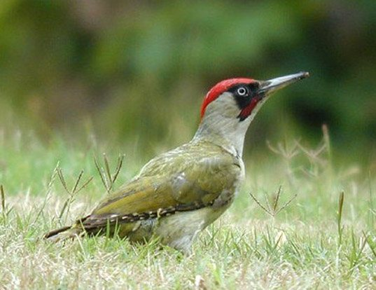 Picture of a eurasian green woodpecker (Picus viridis)