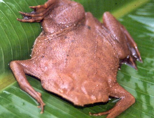 Picture of a surinam toad (Pipa pipa)