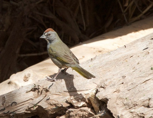 Picture of a green-tailed towhee (Pipilo chlorurus)