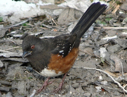 Picture of a spotted towhee (Pipilo maculatus)