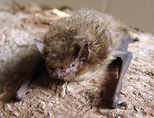 Picture of a nathusius's pipistrelle (Pipistrellus nathusii)