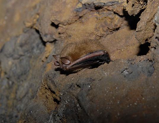 Picture of a eastern pipistrelle (Pipistrellus subflavus)
