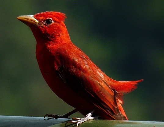 Picture of a summer tanager (Piranga rubra)