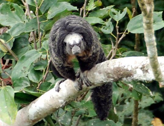 Picture of a equatorial saki (Pithecia aequatorialis)