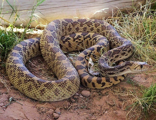 Picture of a bullsnake and gopher snake (Pituophis catenifer)