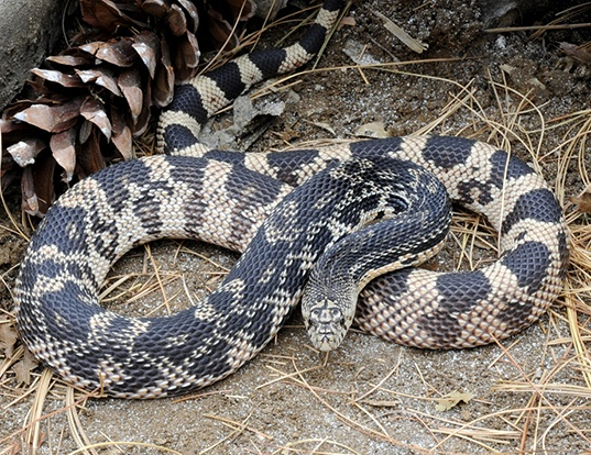Picture of a gopher snake (Pituophis melanoleucus melanoleucus)