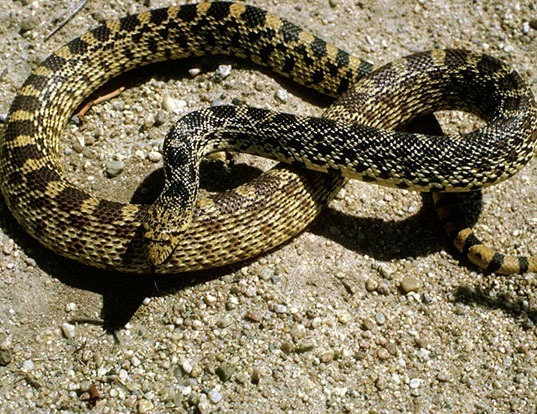 Picture of a pinesnake (Pituophis melanoleucus)