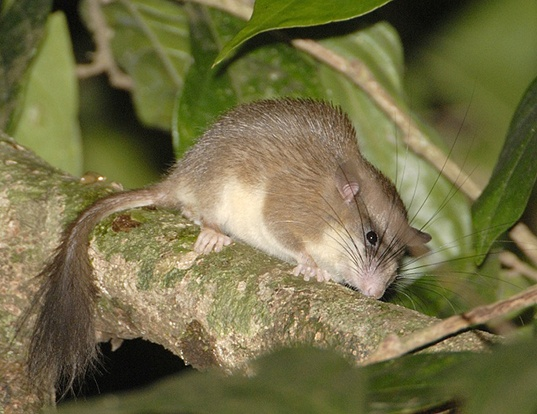 Picture of a malabar spiny dormouse (Platacanthomys lasiurus)
