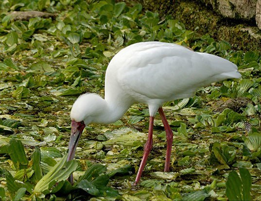 Picture of a african spoonbill (Platalea alba)