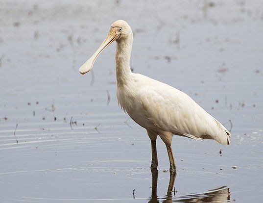 Picture of a yellow-billed spoonbill (Platalea flavipes)