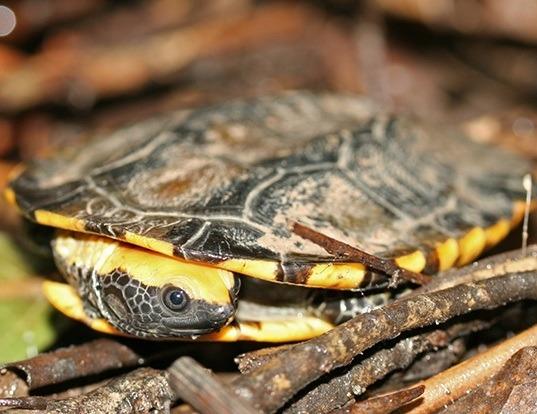 Picture of a twistneck turtle (Platemys platycephala)