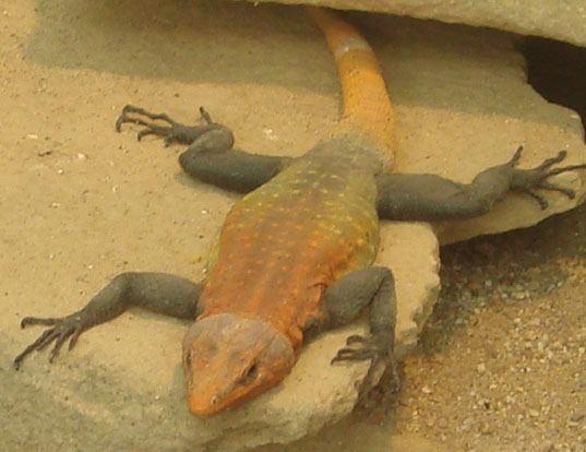 Picture of a emperor flat lizard (Platysaurus imperator)