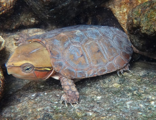 Picture of a big-headed turtle (Platysternon megacephalum)