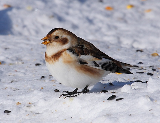 Picture of a snow bunting (Plectrophenax nivalis)