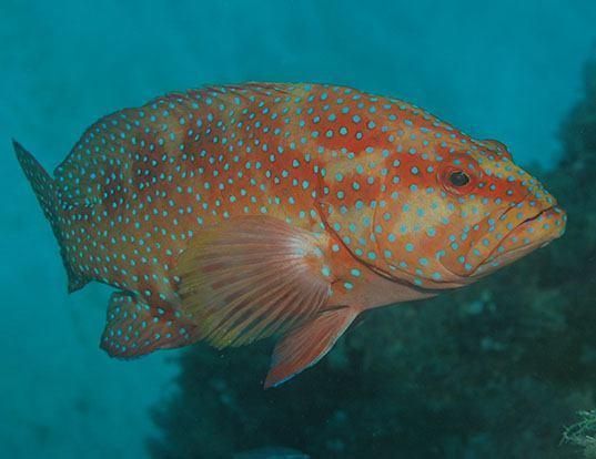 Picture of a leopard coral grouper (Plectropomus leopardus)