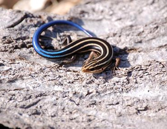 Picture of a five-lined skink (Plestiodon fasciatus)